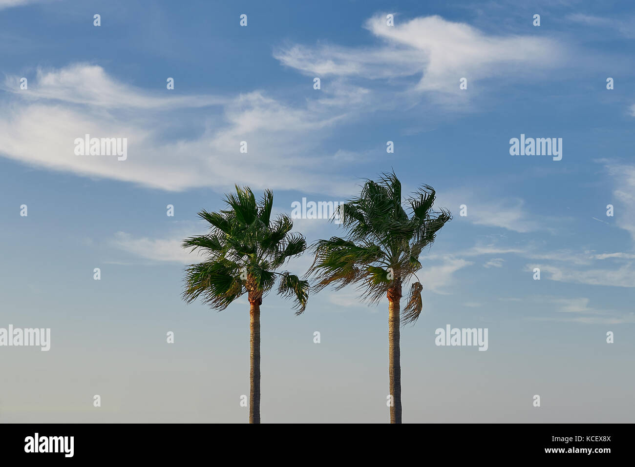 Two Tall Palm Trees Stock Photos Two Tall Palm Trees Stock Images