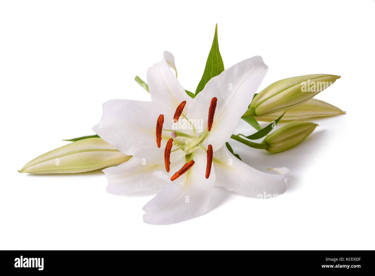 White madonna lily lilium candidum stock photos white madonna lily white lily flower isolated on a white background stock image izmirmasajfo