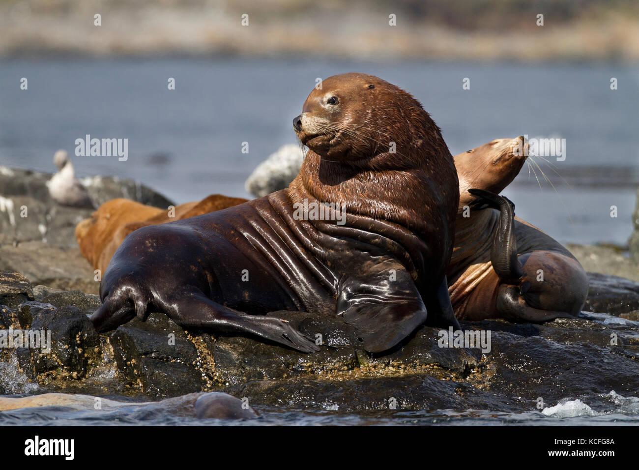 Stellar Sea Lion, Eumetopias jubatus, hauled out at Race Rocks, Near Victoria, British Columbia, Canada - Stock Image