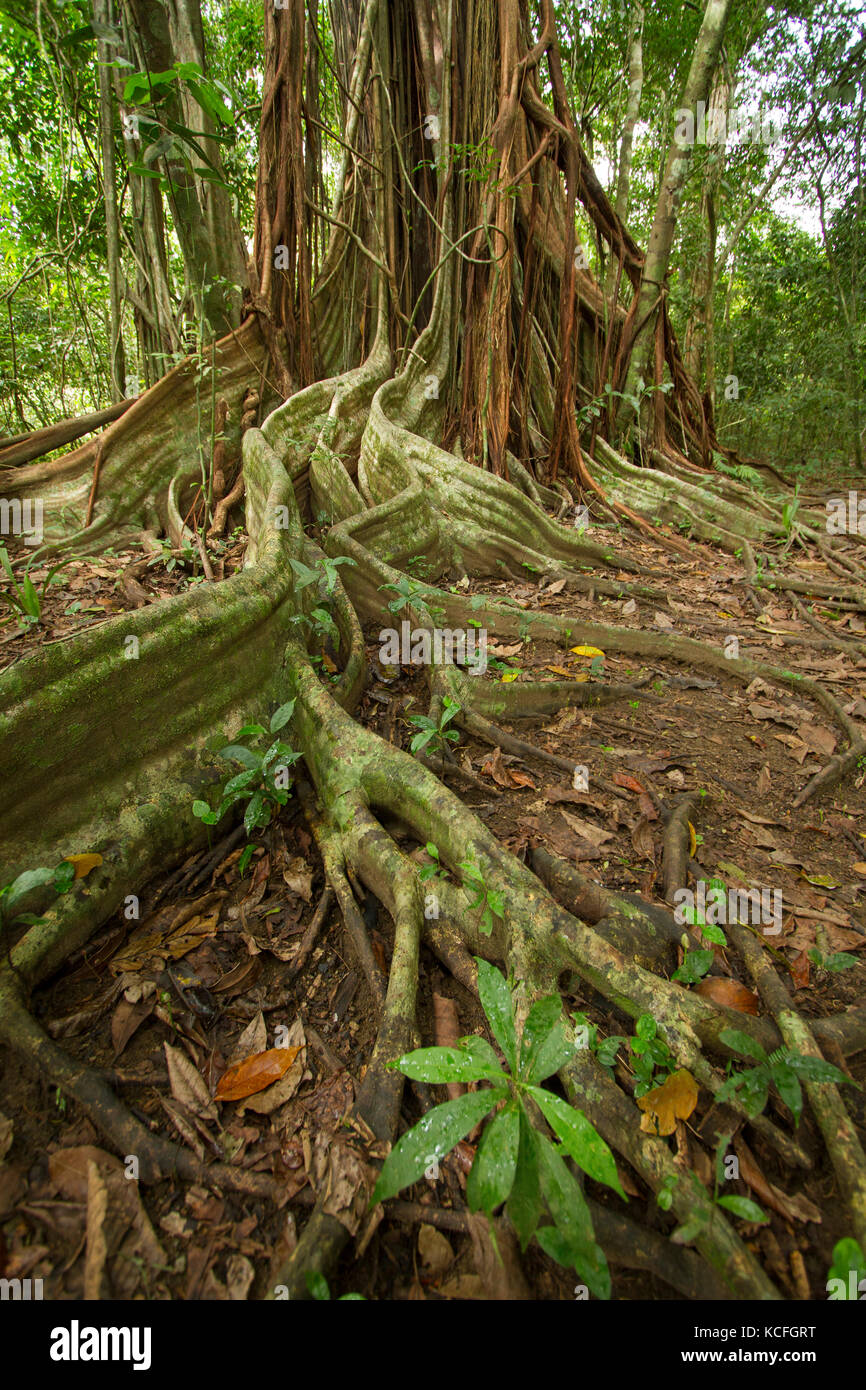 Strangler Fig, Osa Peninsula, Central America, Costa Rica - Stock Image