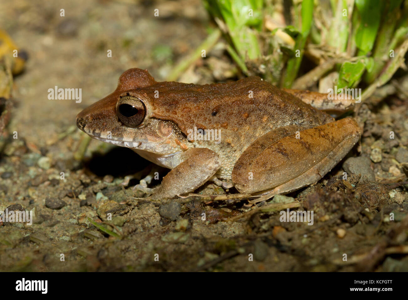 white-lipped frog, unidenfied species, Costa Rica, Central America - Stock Image