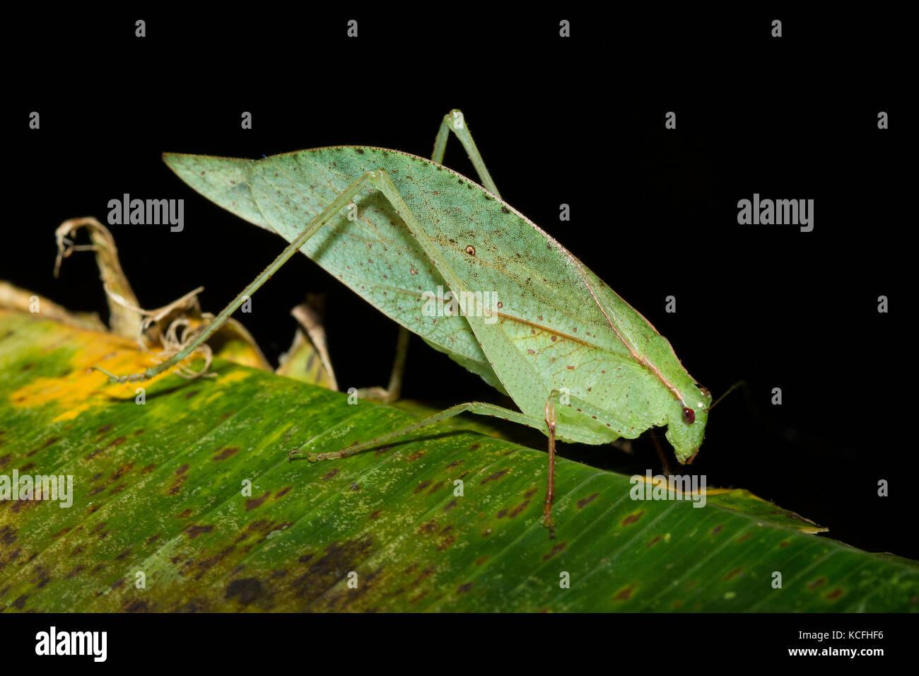 leaf-mimic, Katydid, Central America, Costa Rica - Stock Image