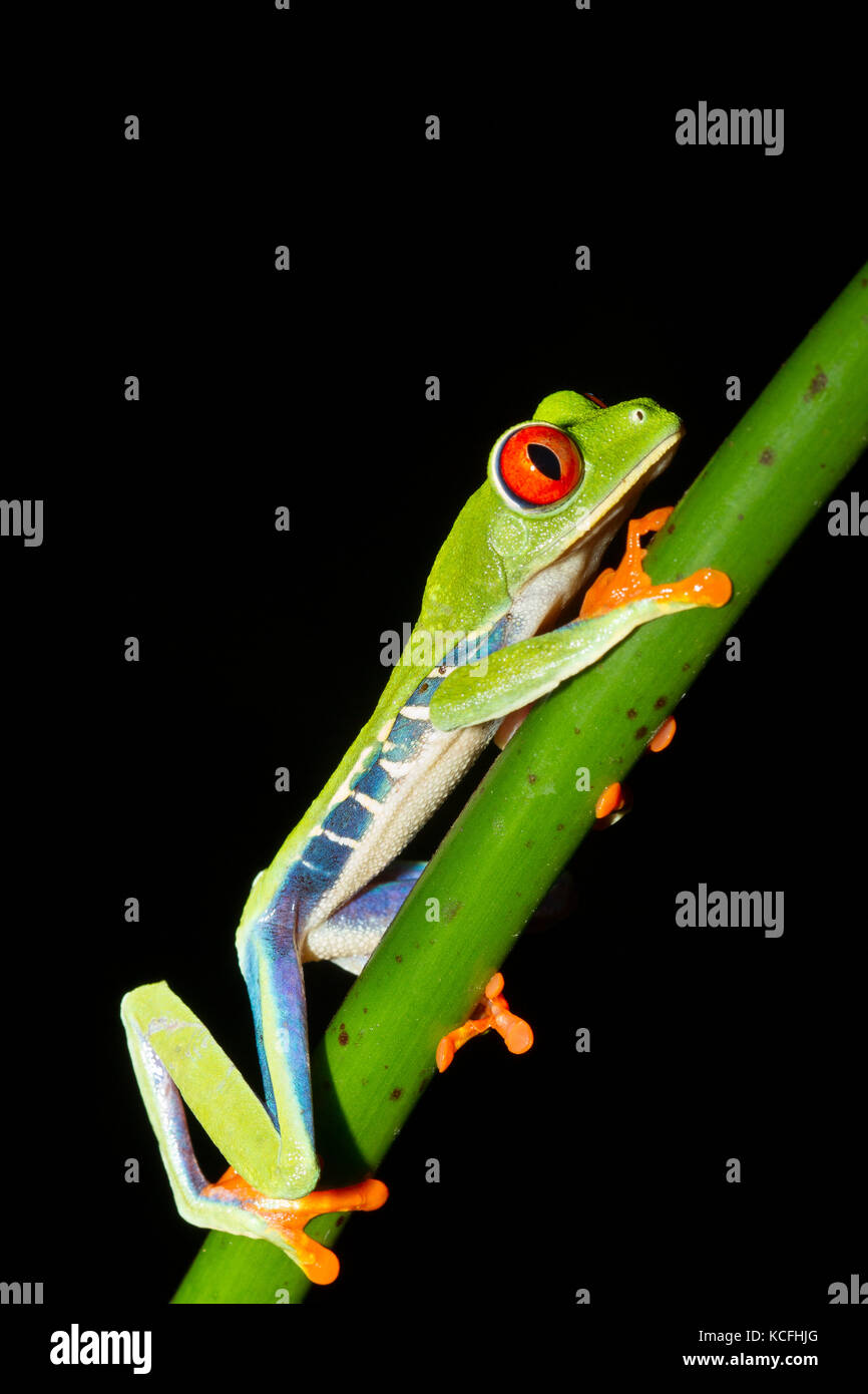 red-eyed tree frog, Agalychnis callidryas, perched in a tree branch in a jungle in Costa Rica, Central America - Stock Image