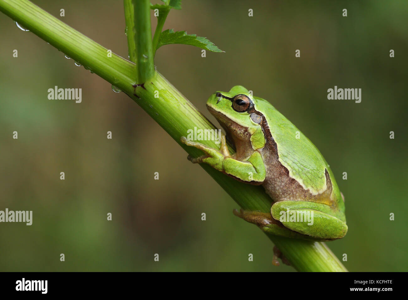 European tree frog (Hyla arborea) on a green plant - Stock Image