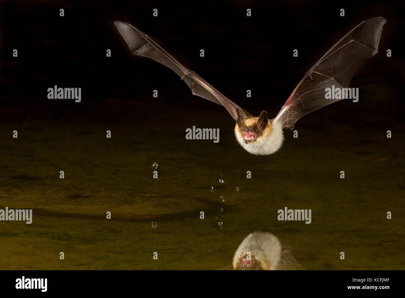 Pallid Bat, Antrozous pallidus flying low over pond in the Great Basin Desert, Okanagan, British Columbia, Canada - Stock Image