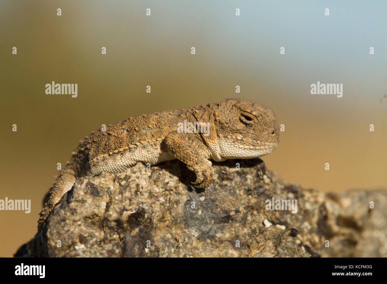 extirpated, Okanagan, Phyrnosoma douglassi, Pygmy Short-horned lizard, USA, Washington - Stock Image