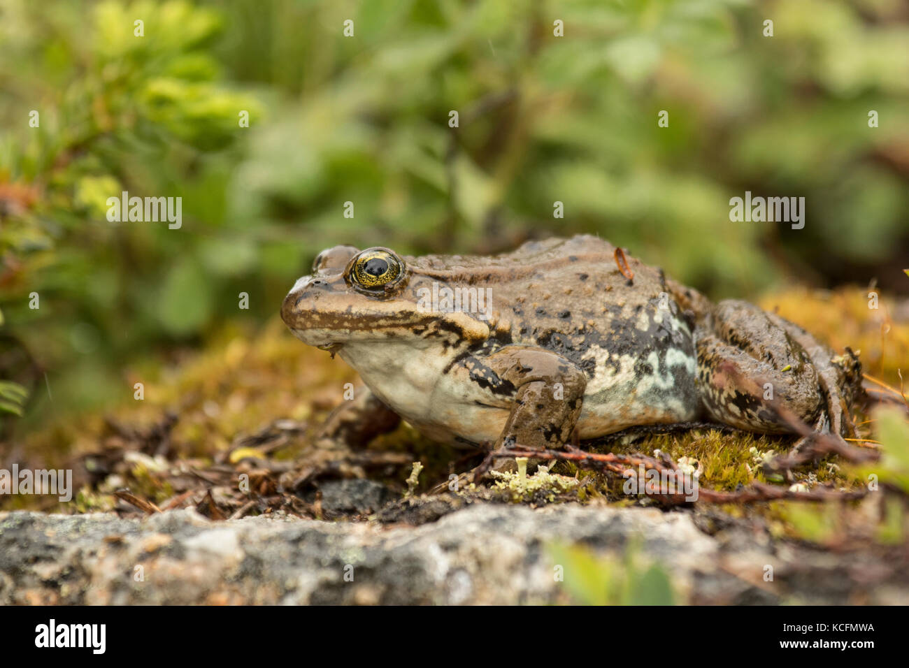 Columbia Spotted Frog, Lithobates lutieaventris, Rana lutieaventris, British Columbia, Canada Stock Photo