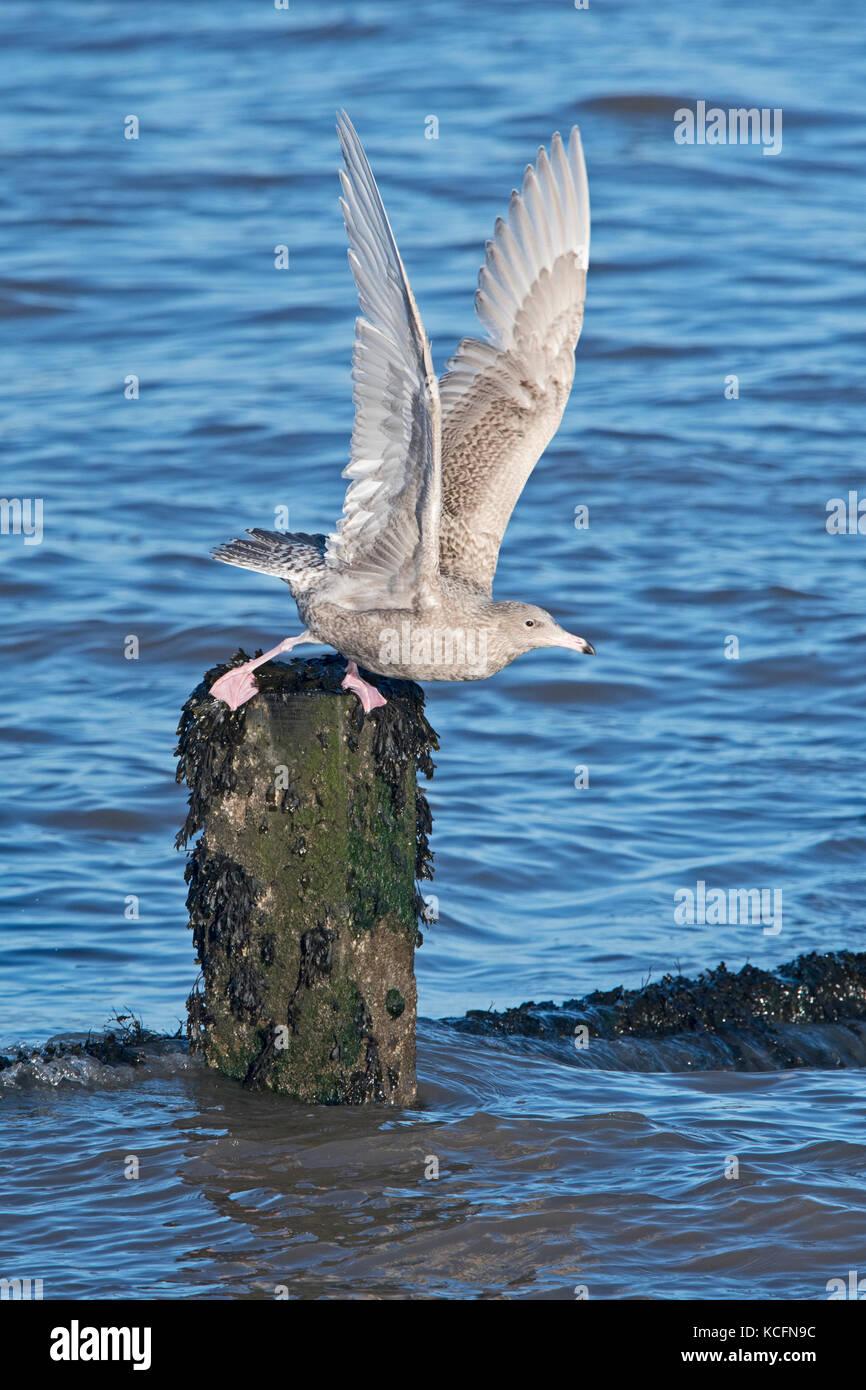 Glaucous Gull  Larus hyperboreus 1st winter plumage Sheringham Norfolk January - Stock Image