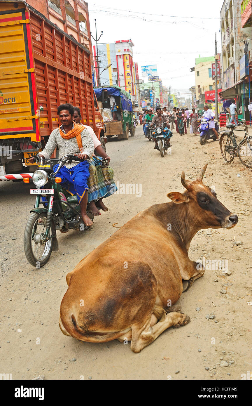 Cow Sentence In Tamil