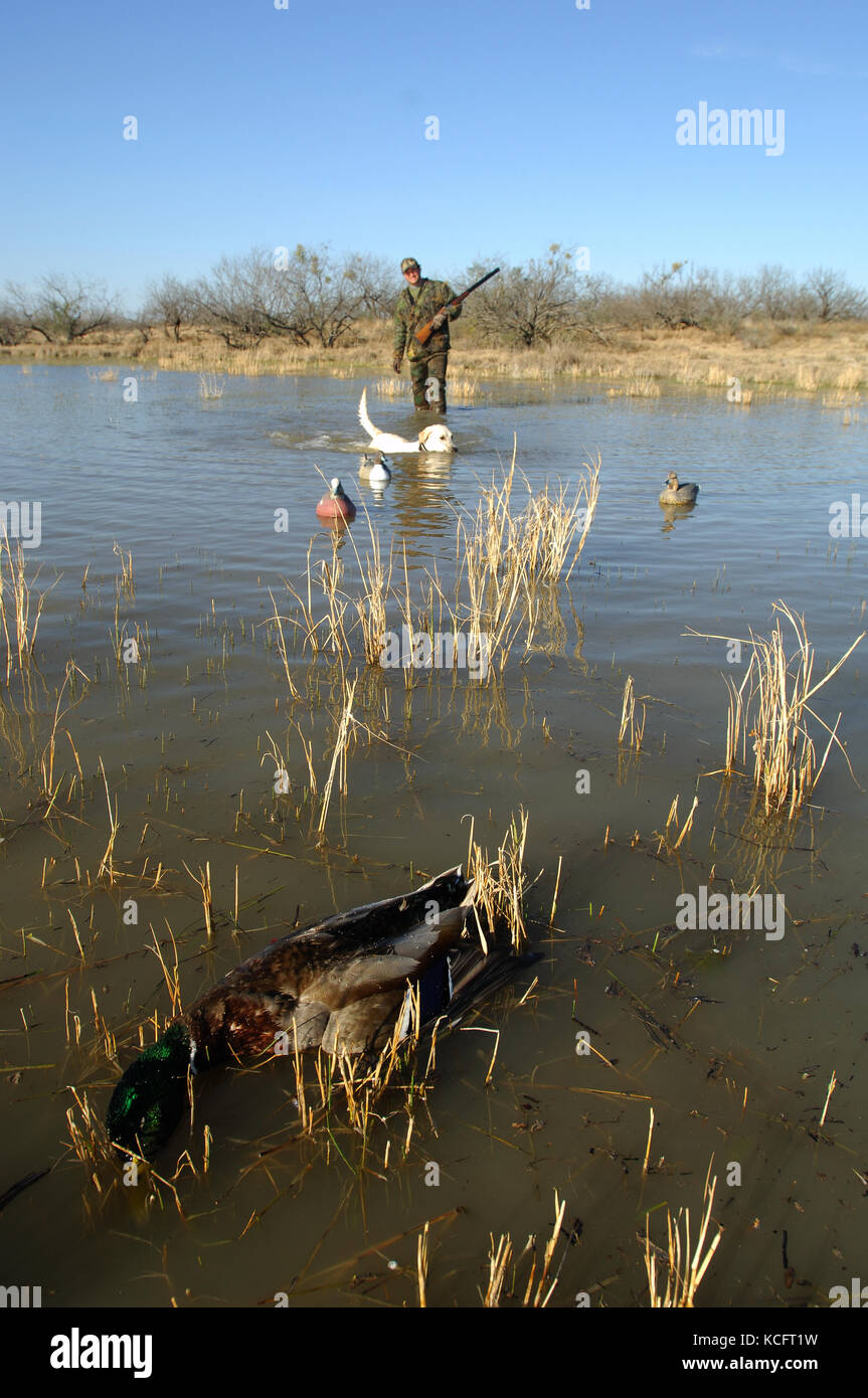 A yellow Labrador retriever fetching a mallard drake for a South Texas duck hunter - Stock Image