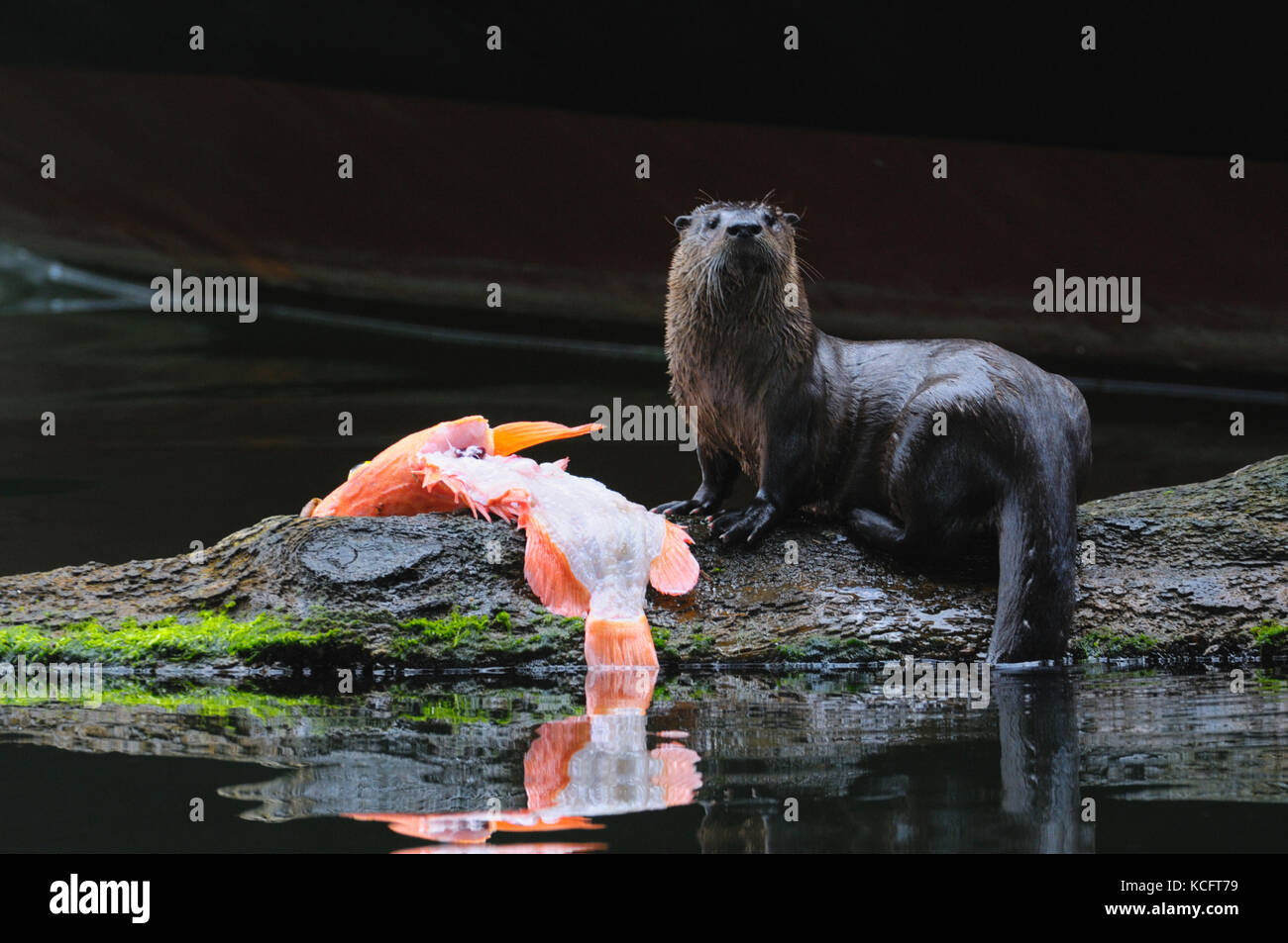 River otter with red snapper at Prince Rupert, BC Canada Stock Photo