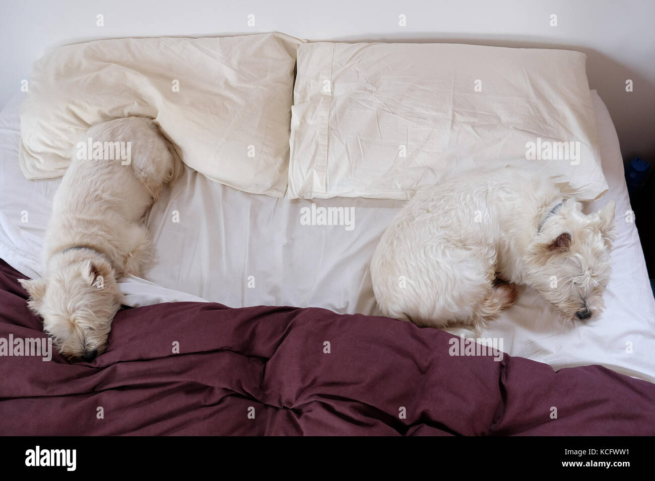 Two west highland white terrier westie dogs sleeping on a messy crumpled bed. The comforter is covered in fur. - Stock Image
