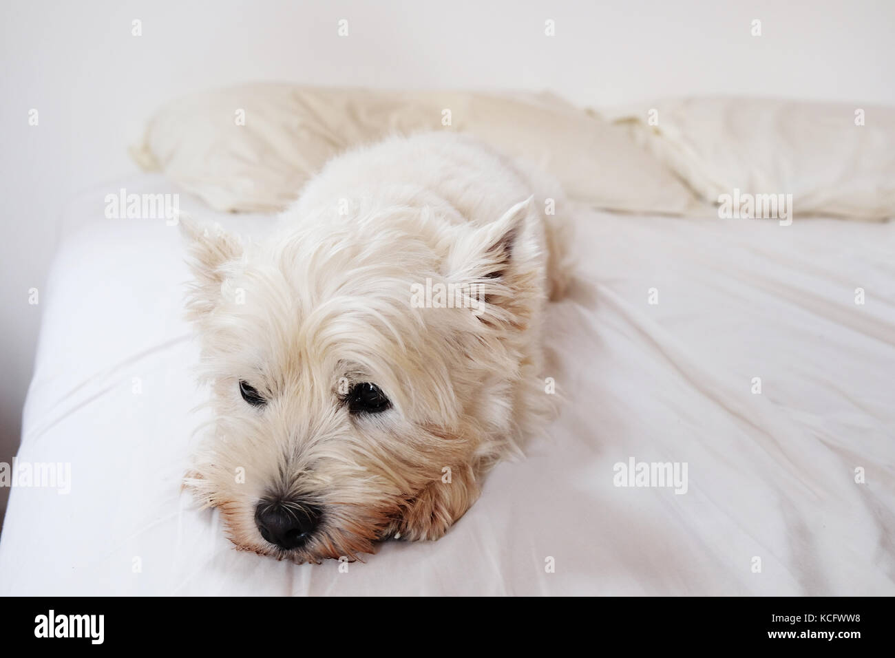 bored, grumpy or tired west highland white terrier westie dog on unmade messy bed with white sheets and white pillows - Stock Image