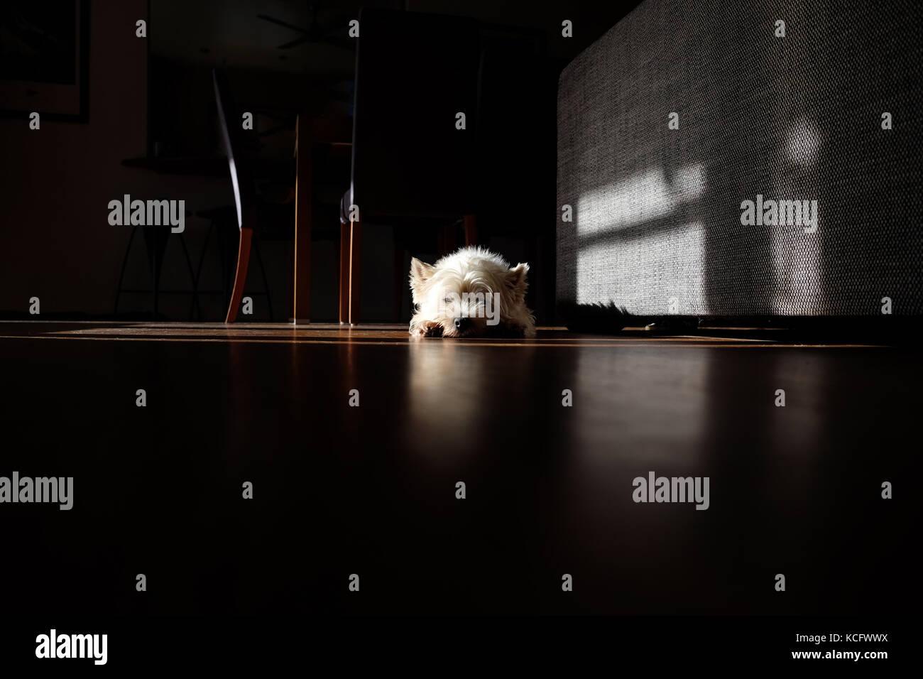 west highland white terrier westie dog sunbathing in sun puddle inside house living room - Stock Image