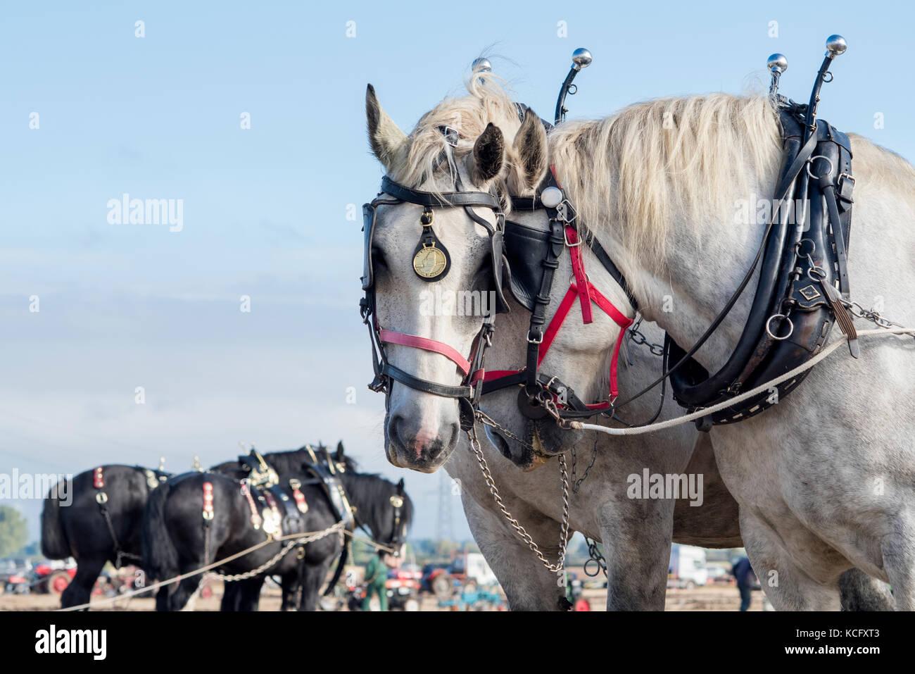Horses ploughing at Flintham Show, Nottinghamshire, England - Stock Image
