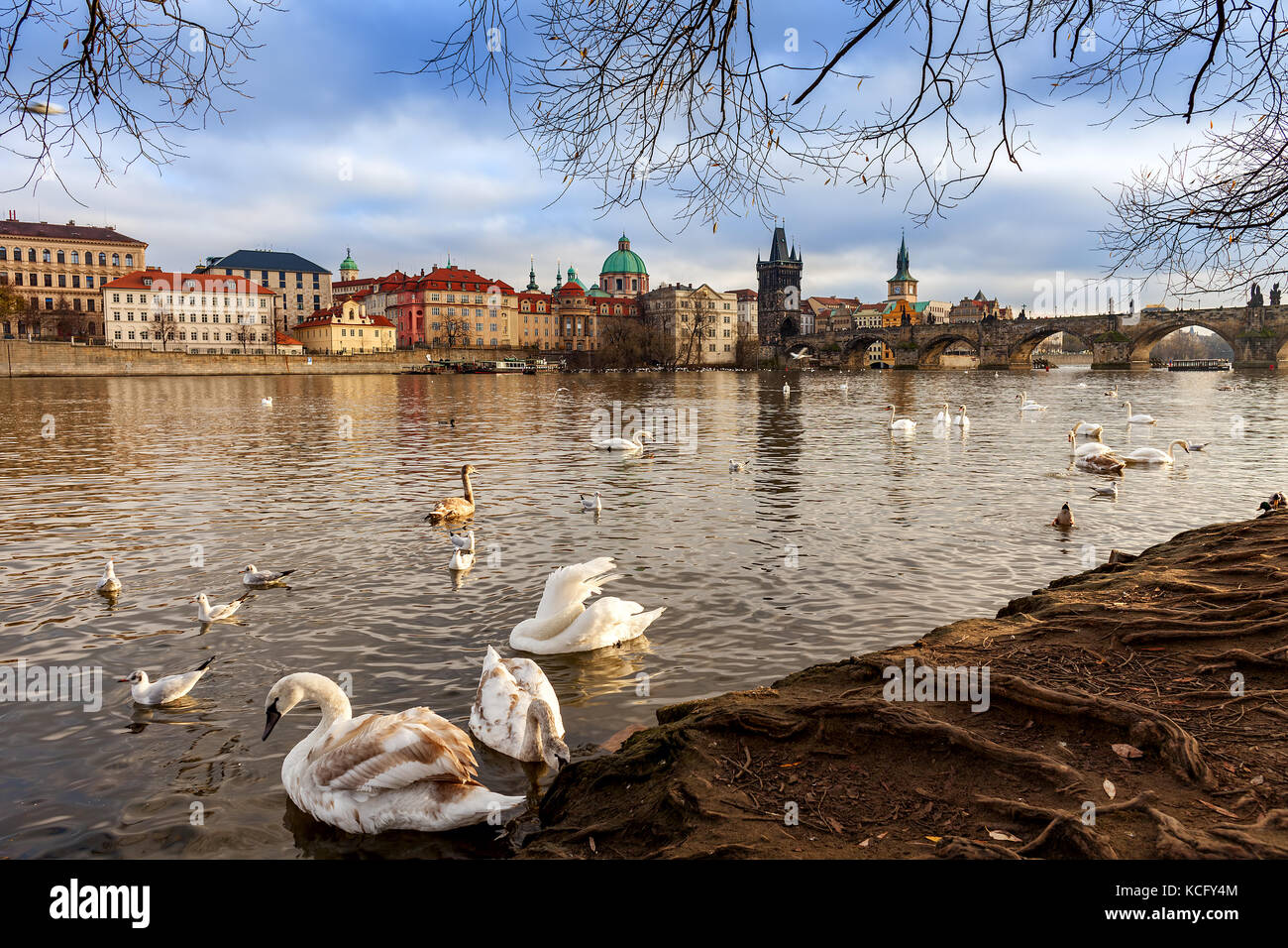 Swans on bank of Vltava river as Charles Bridge on background in Prague, Czech Republic. - Stock Image
