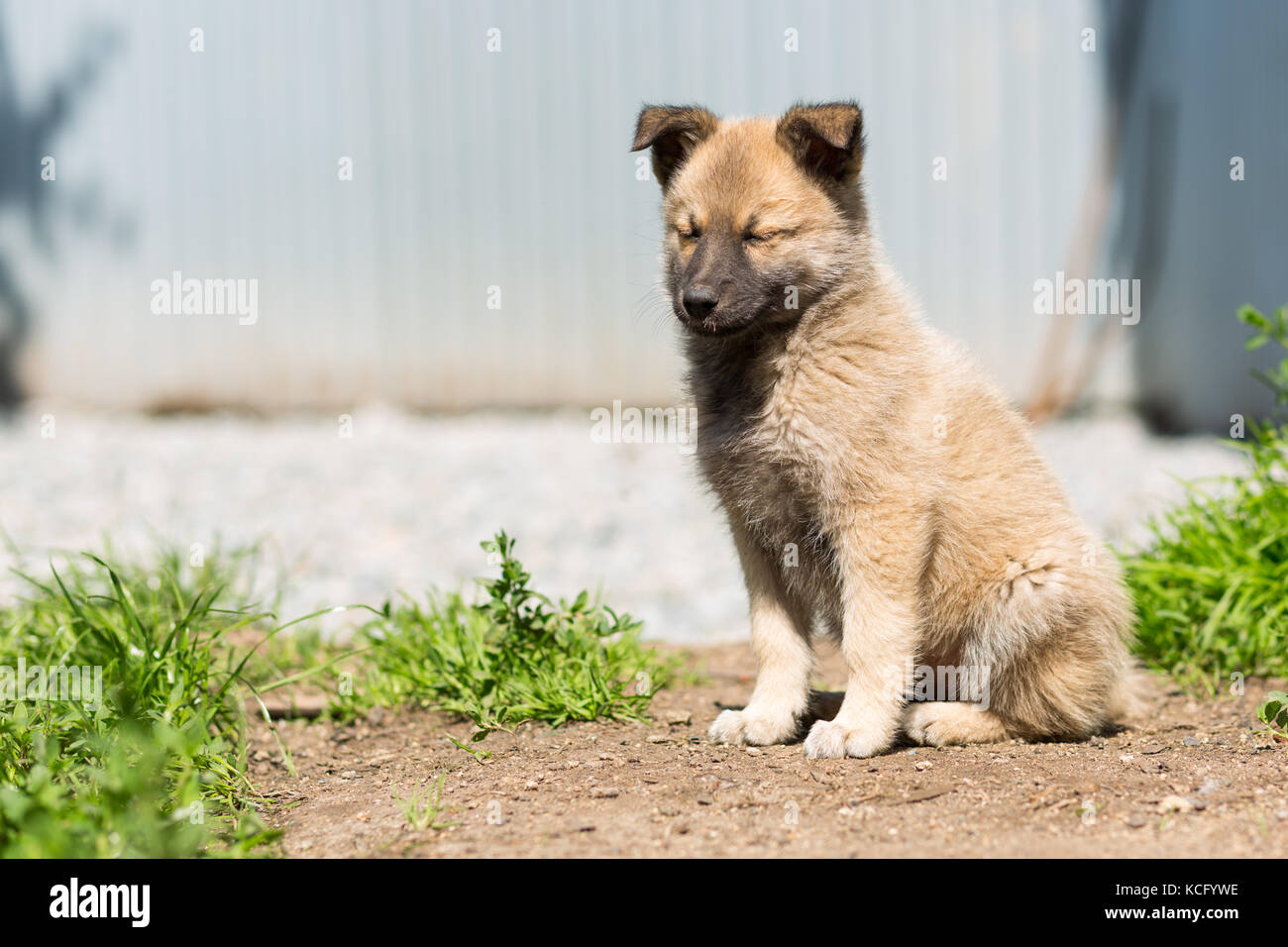 non-pedigree fawn-colored puppy sits on a path - Stock Image