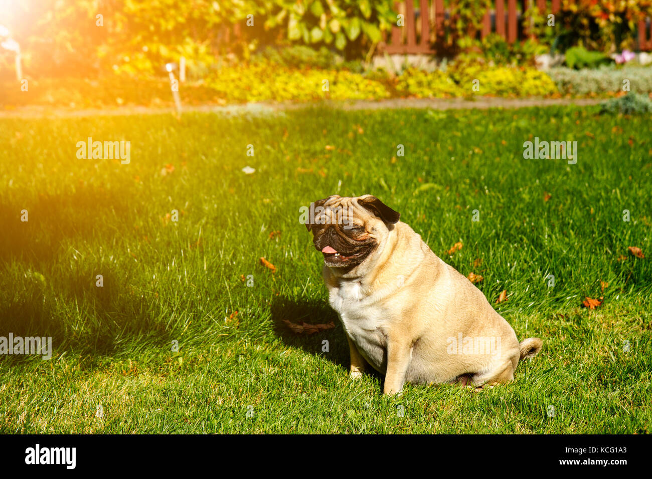 Pug dog in the garden - Stock Image