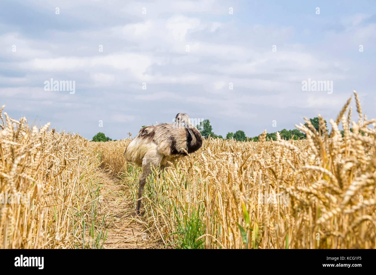 The american greater rhea (Nandu, Rhea americana) cleaning its plumage in a grainfield in Mecklenburg-West Pomerania, - Stock Image