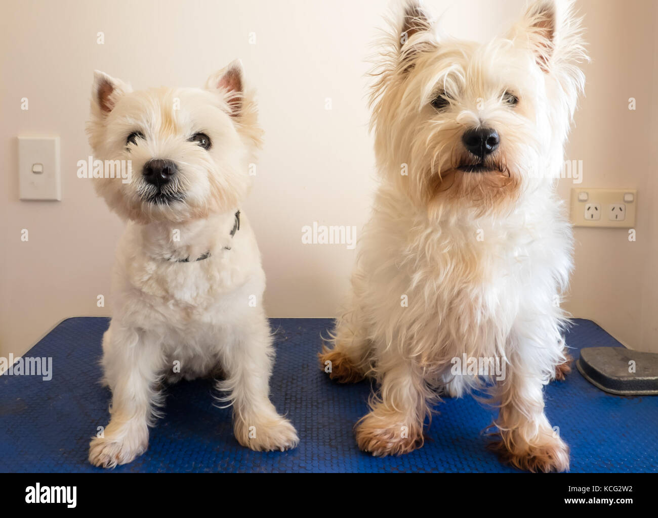 two west highland white terrier westie dogs on grooming table, one