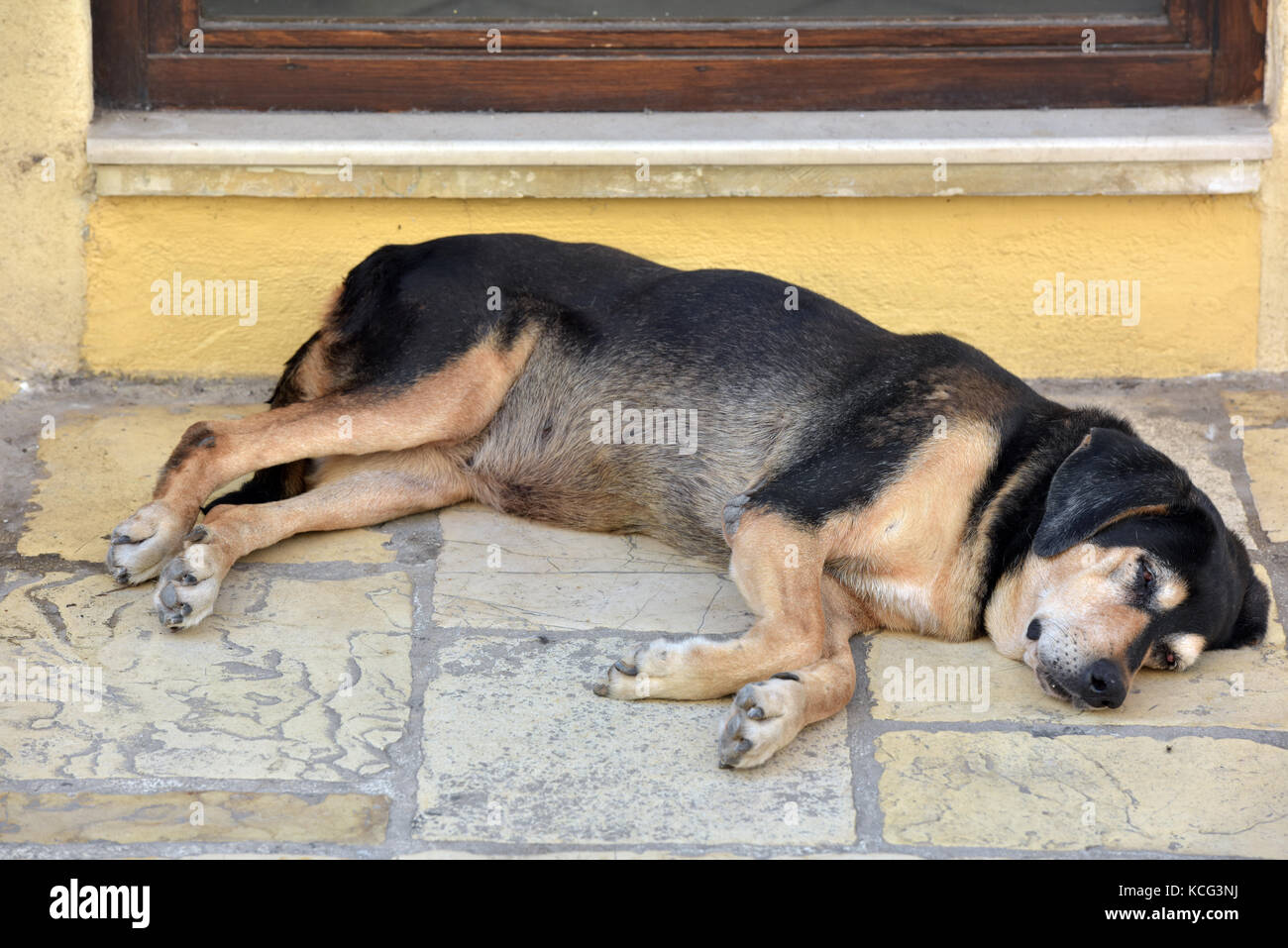 a lazy tired dog or pooch sleeping on the pavement at the threshold of a door to it's owners house. Mans best - Stock Image