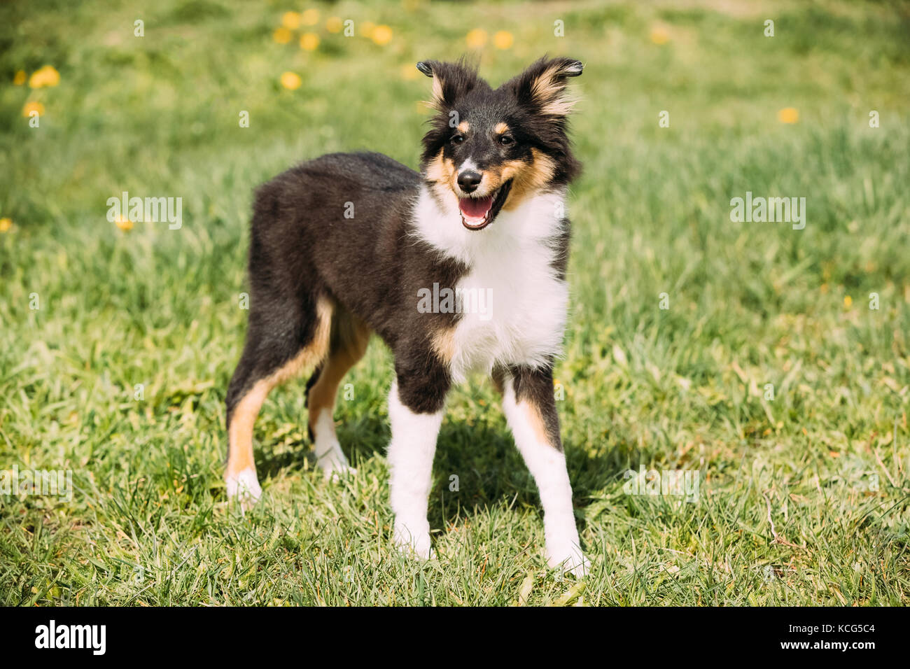Young Happy Smiling Shetland Sheepdog Sheltie Puppy Playing Outdoor In Green Spring Meadow Grass - Stock Image