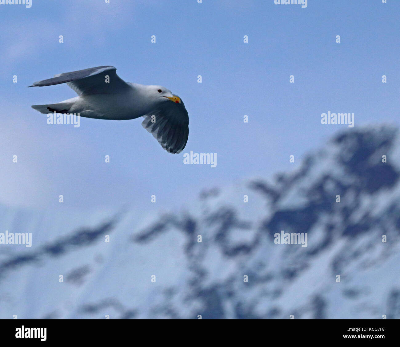 Glaucous-winged seagull flying past snow covered mountains in Alaska - Stock Image