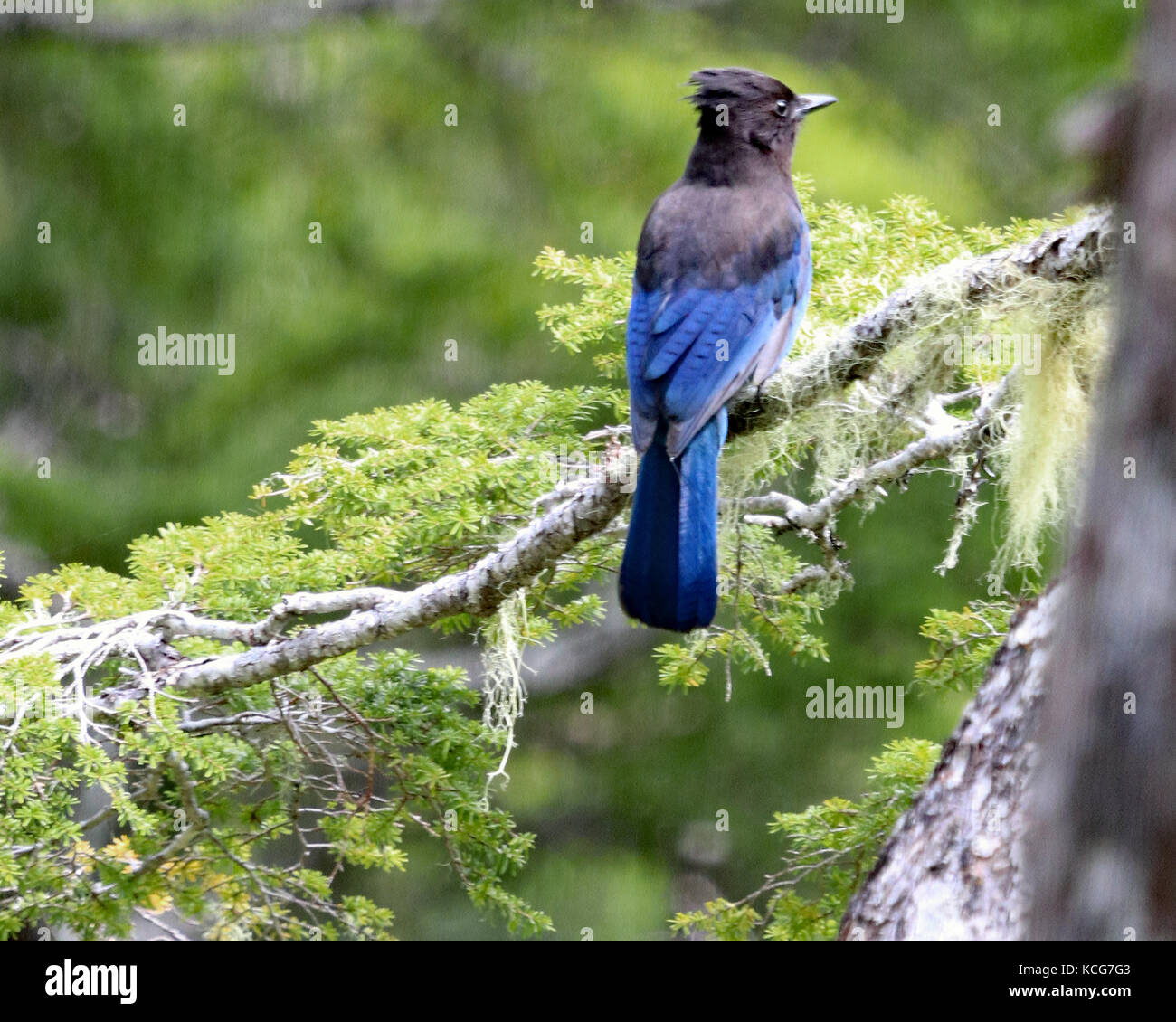 Beautiful blue Stellar's jay perched on green pine branch in the Tongass National forest, Alaska - Stock Image