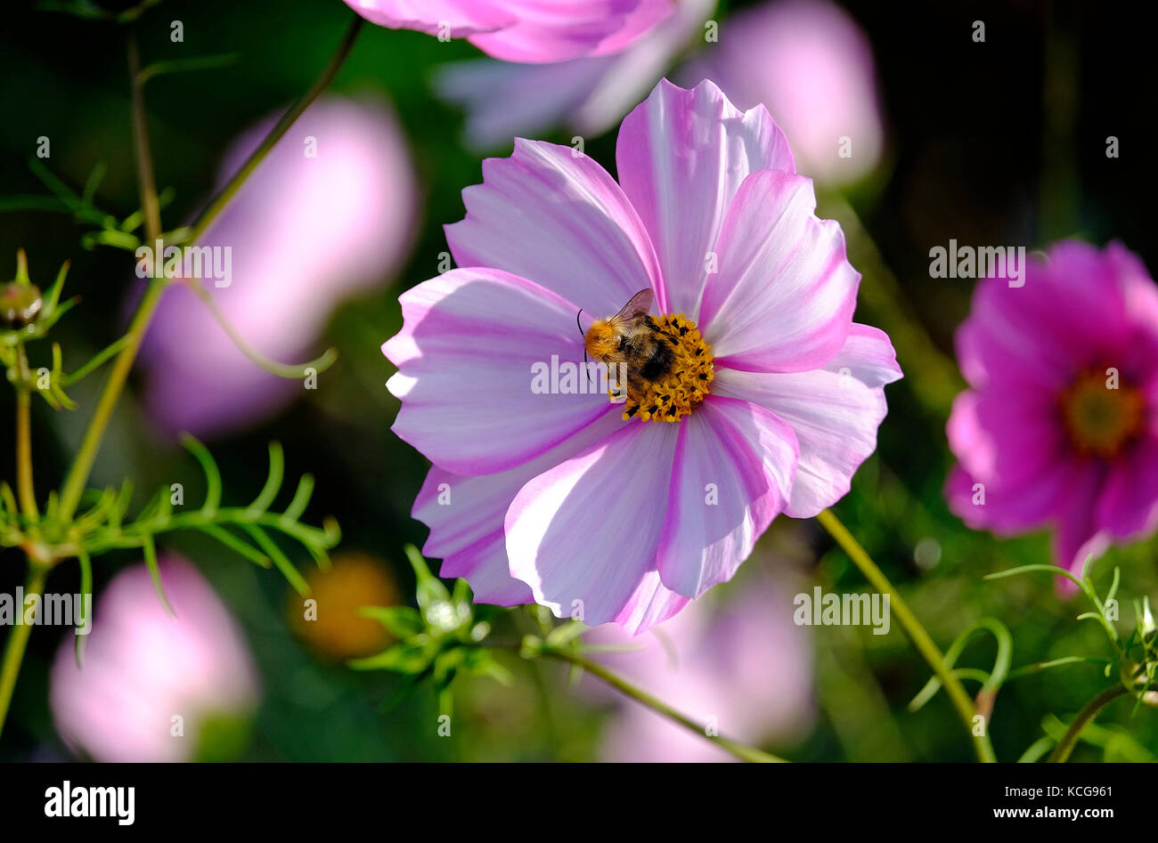 pink cosmos flower and honey bee in english country garden - Stock Image