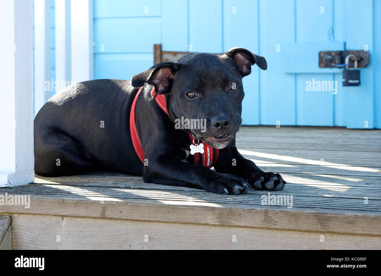 staffordshire bull terrier puppy dog laying on beach hut decking - Stock Image
