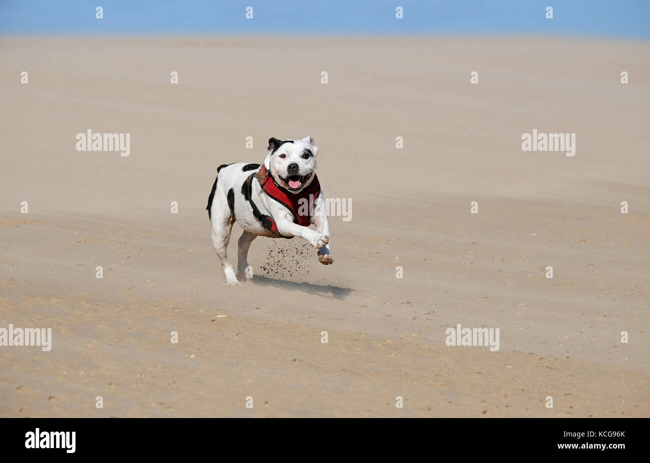 staffordshire bull terrier dog on beach - Stock Image