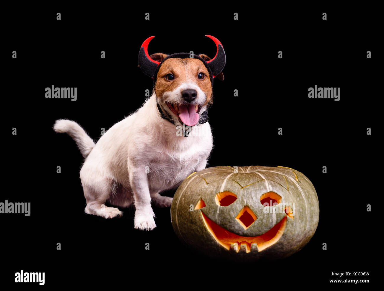 Happy smiling dog with devil horns and Halloween pumpkin - Stock Image