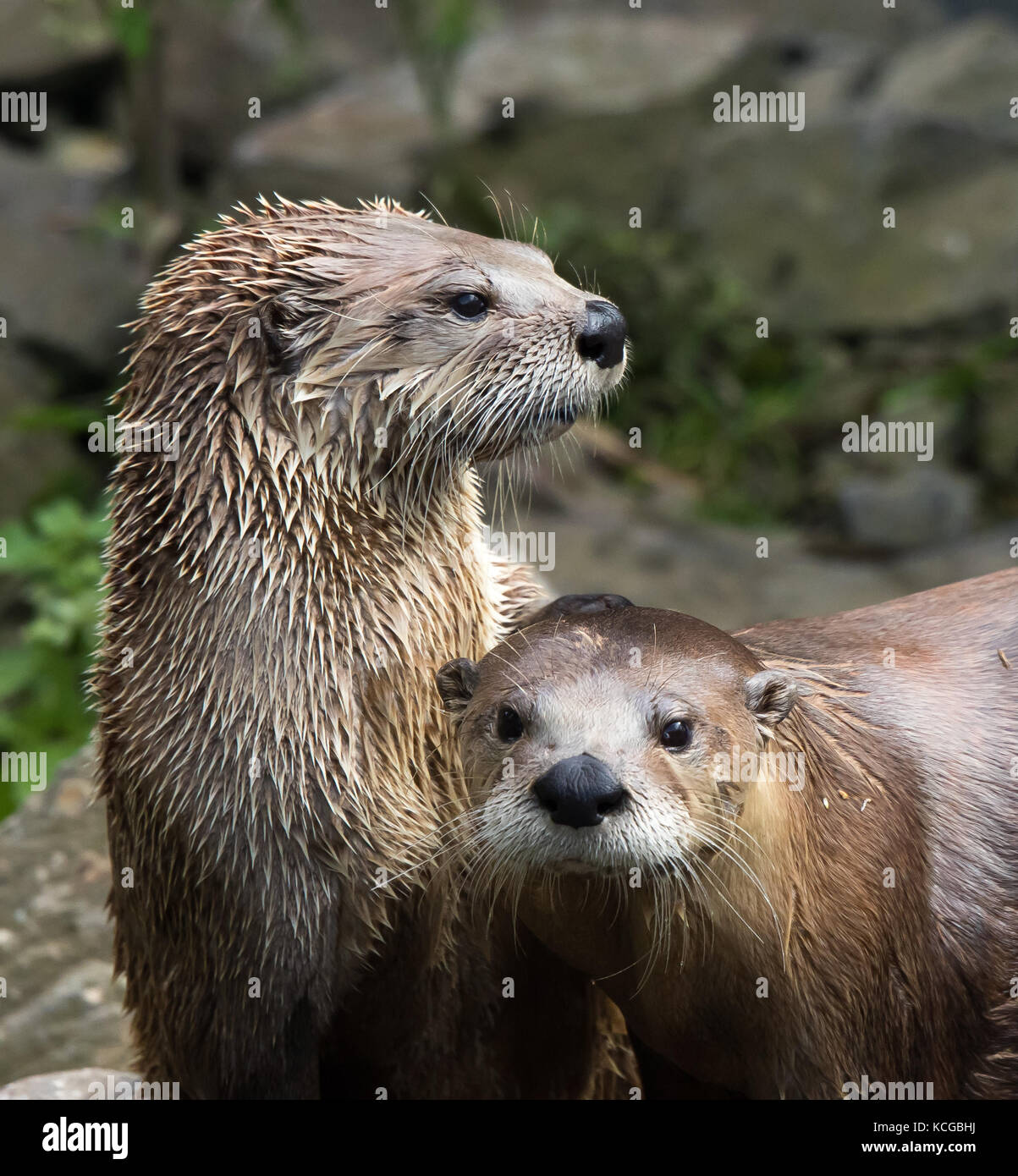 Close up of two North American river otters (Lontra canadensis) in captivity at Slimbridge Wetland Reserve, UK, Stock Photo