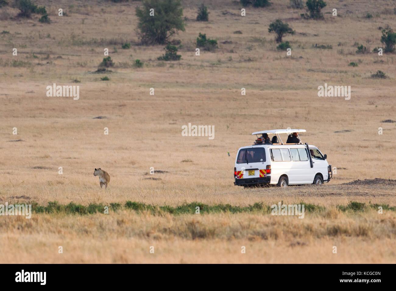 Tourist vehicle watching Lion (panthera leo), Masai Mara National Game Park Reserve, Kenya, East Africa - Stock Image