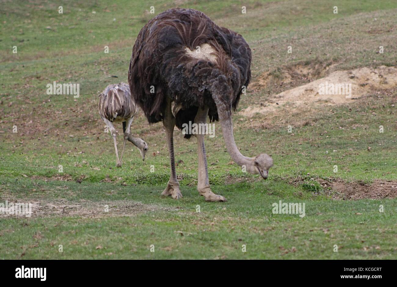 Ostrich (Struthio Camelus) (2) - Stock Image
