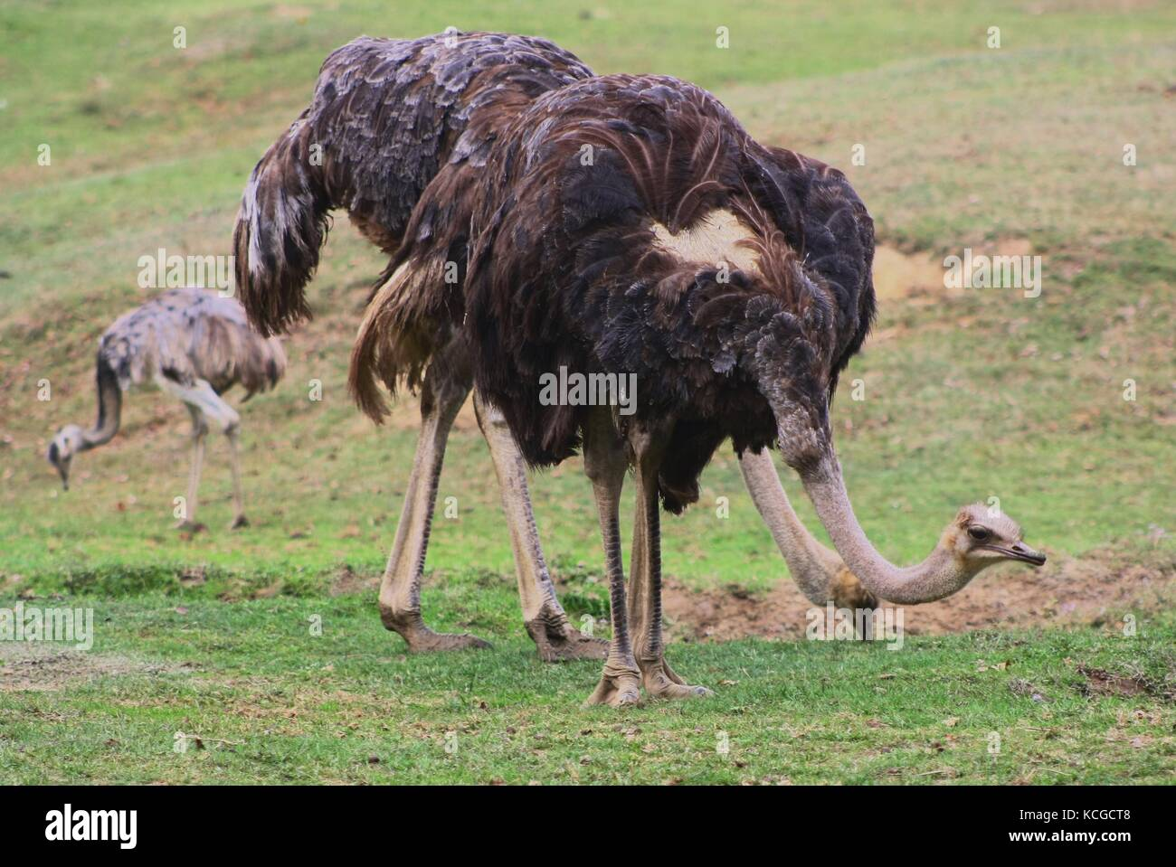 Ostrich (Struthio Camelus) (3) - Stock Image