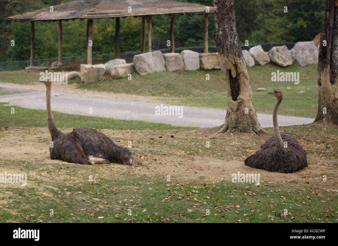 Ostrich (Struthio Camelus) (5) - Stock Image