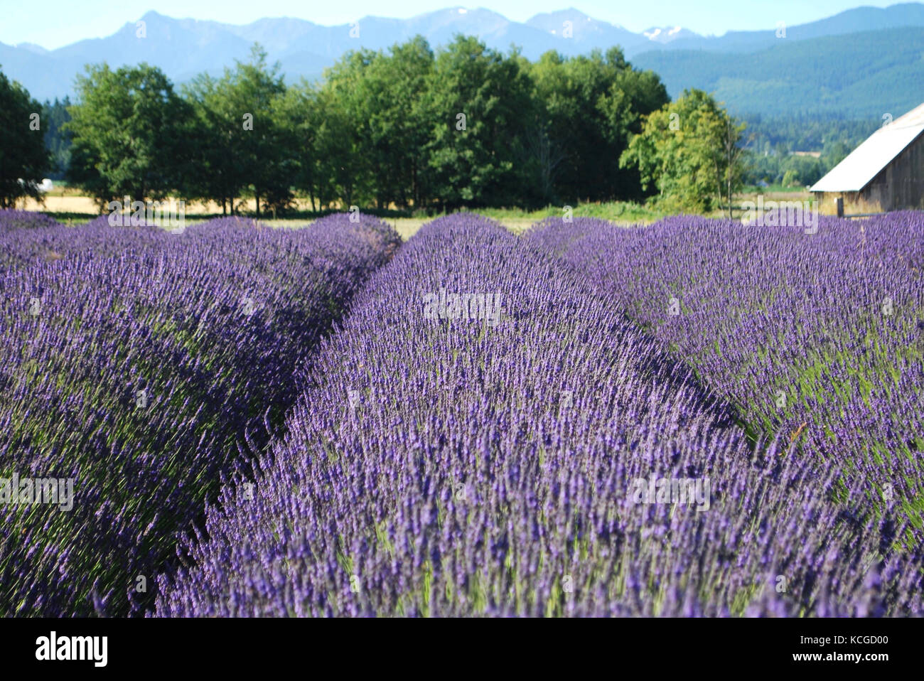 Lavender Fields Blooming In Sequim Wa Usa Stock Photo 162630608