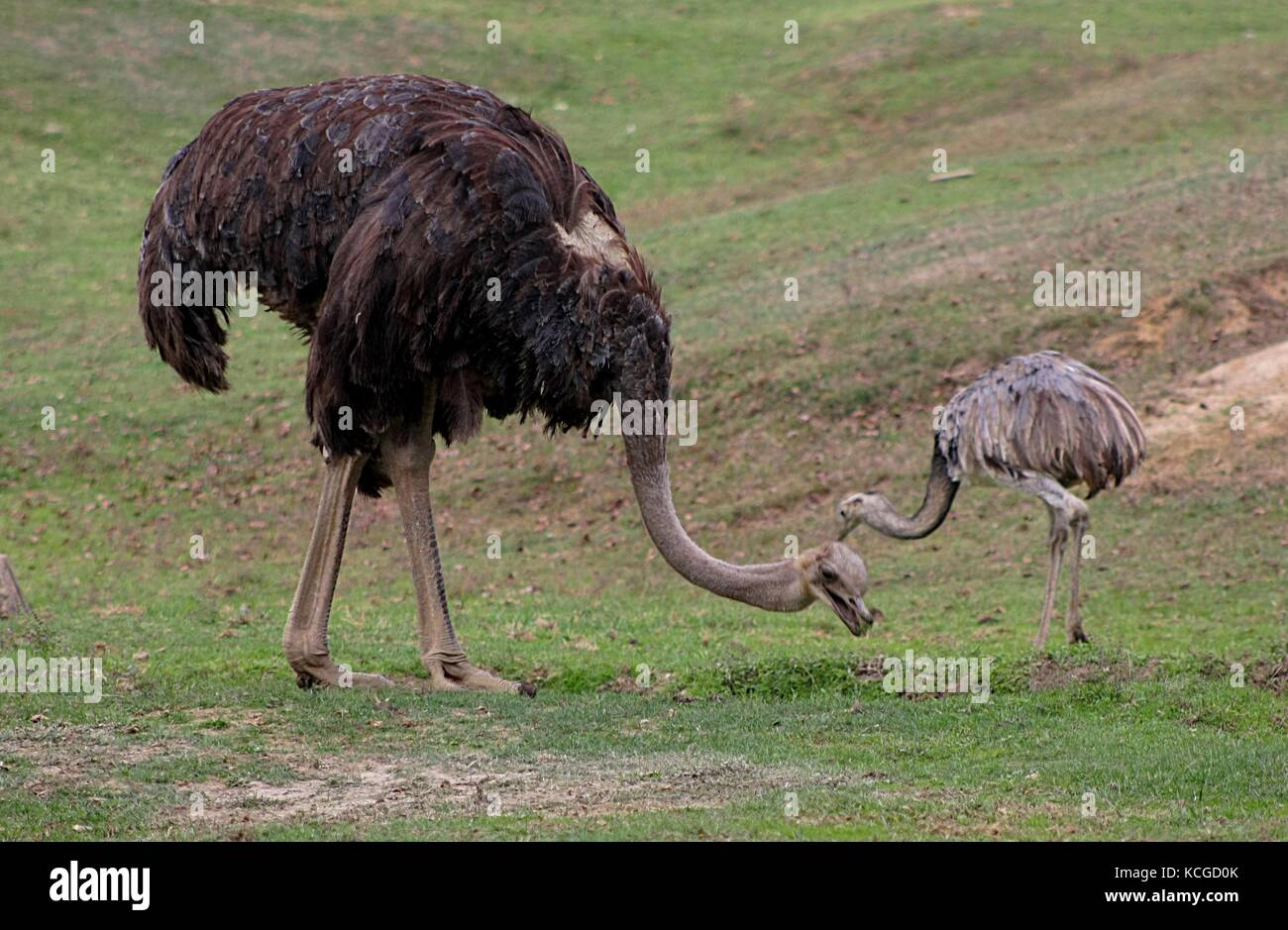 Ostrich (Struthio Camelus) (1) - Stock Image