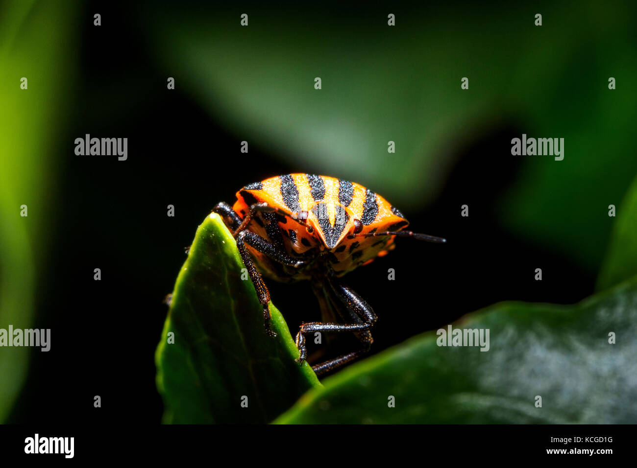 Italian striped-bug / Minstrel bug / Harlequin bug (Graphosoma lineatum / Graphosoma italicum) Stock Photo