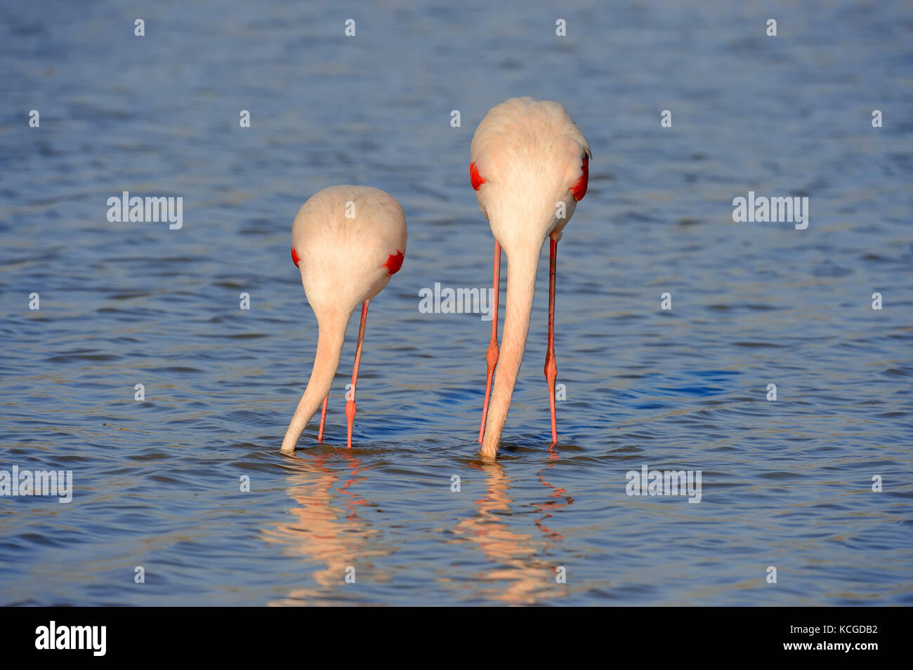 Greater Flamingo, pair, Camargue, Provence, Southern France / (Phoenicopterus roseus) | Rosaflamingos, Paar, Camargue, - Stock Image
