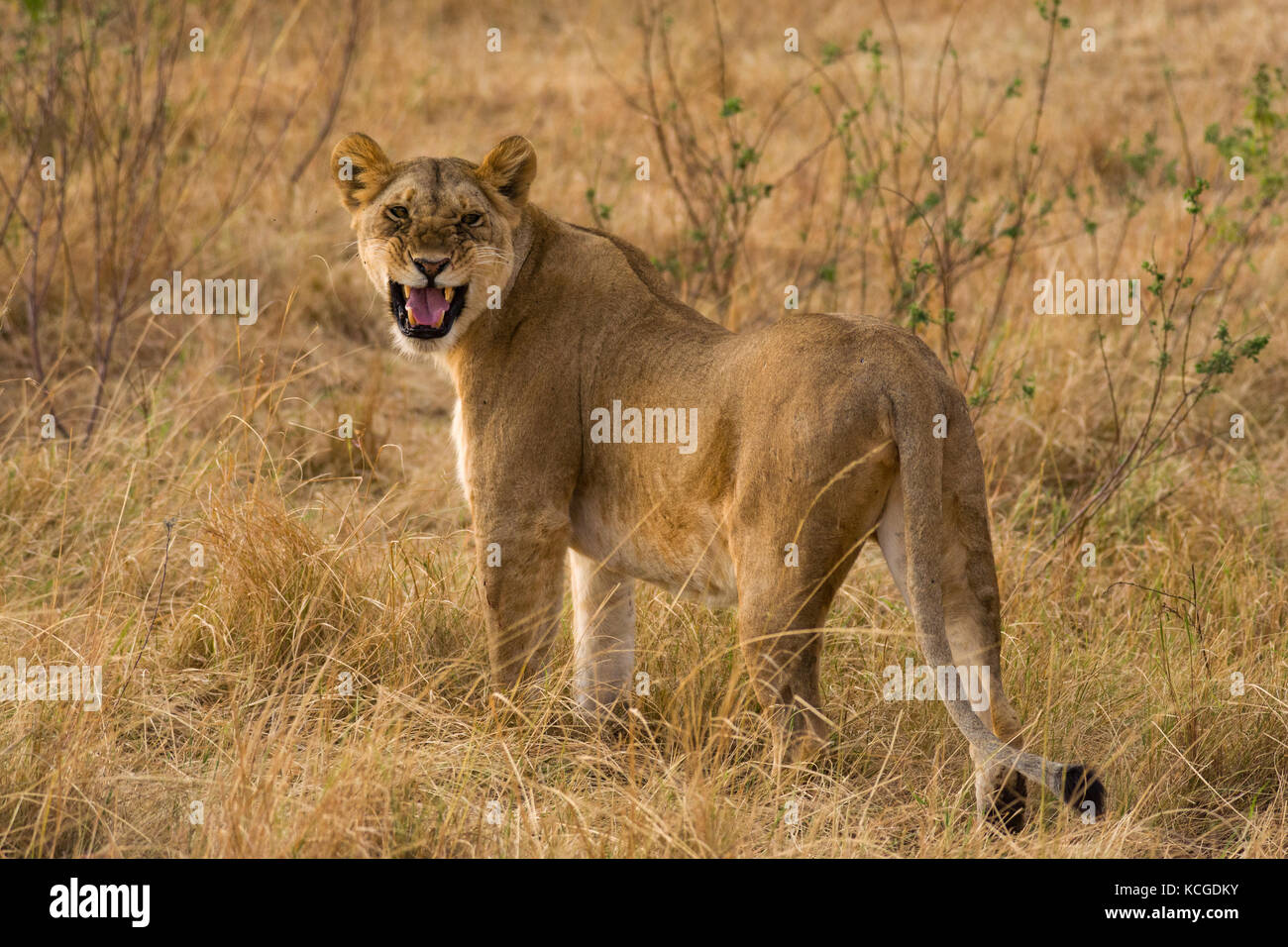 Lion snarling (panthera leo), Masai Mara National Game Park Reserve, Kenya, East Africa - Stock Image
