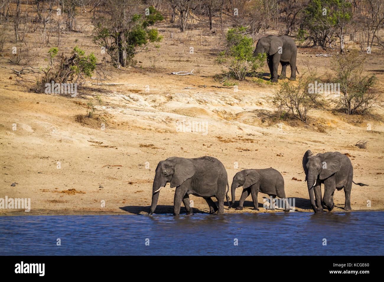Specie Loxodonta africana family of Elephantidae - Stock Image