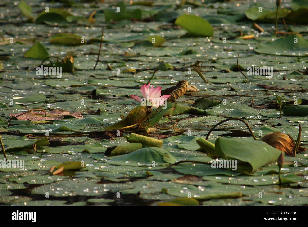 To be a good person u need not have to be in a good company, like the lotus it grows in damp & dirty water but it Stock Photo
