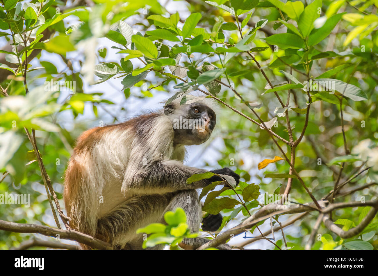 Zanzibar Red colobuses or Kirk's red colobus, Old World monkeys, the most threatened taxonomic group of primates - Stock Image
