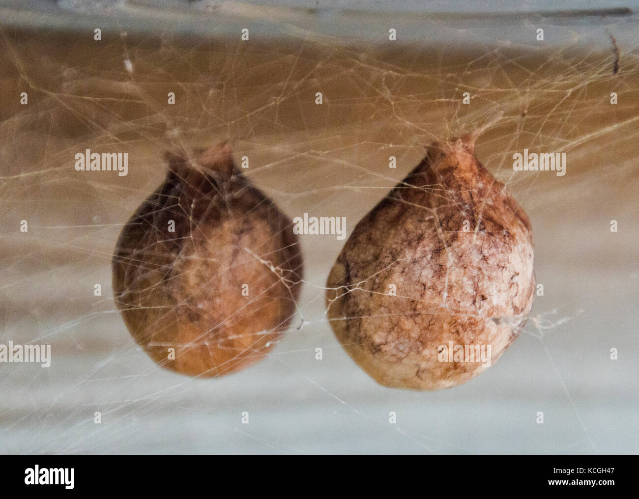 Two strange spider eggs suspended in webs. - Stock Image
