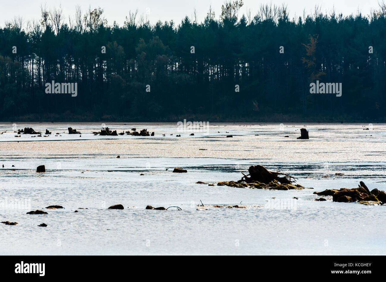 Remains of dark decaying tree stumps contrasted against large muddy pond and dense forest in distance. Stock Photo