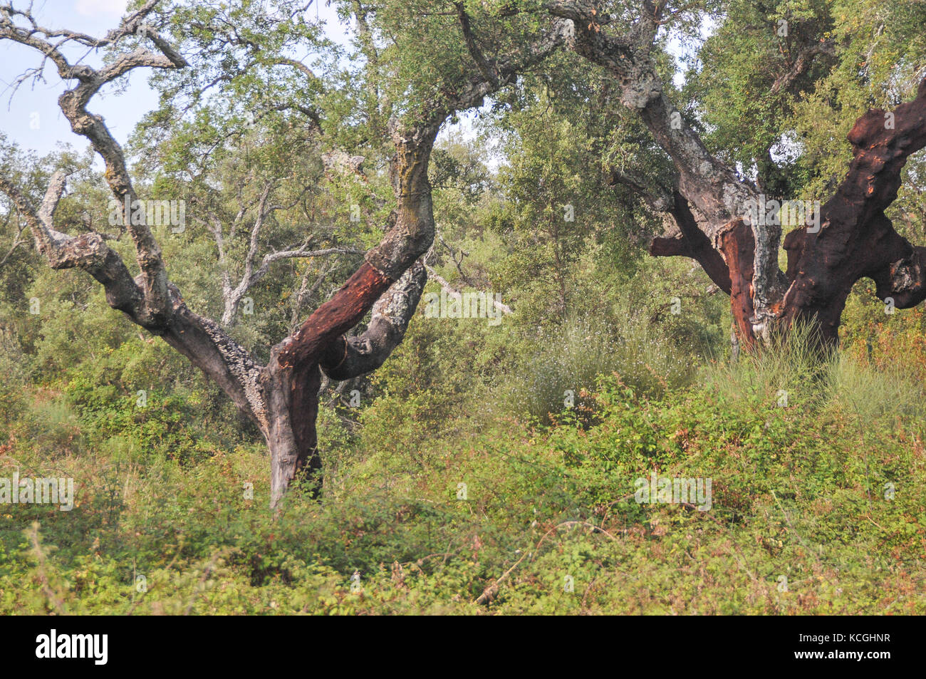 cork oak trees in Extremadura, Spain - Stock Image
