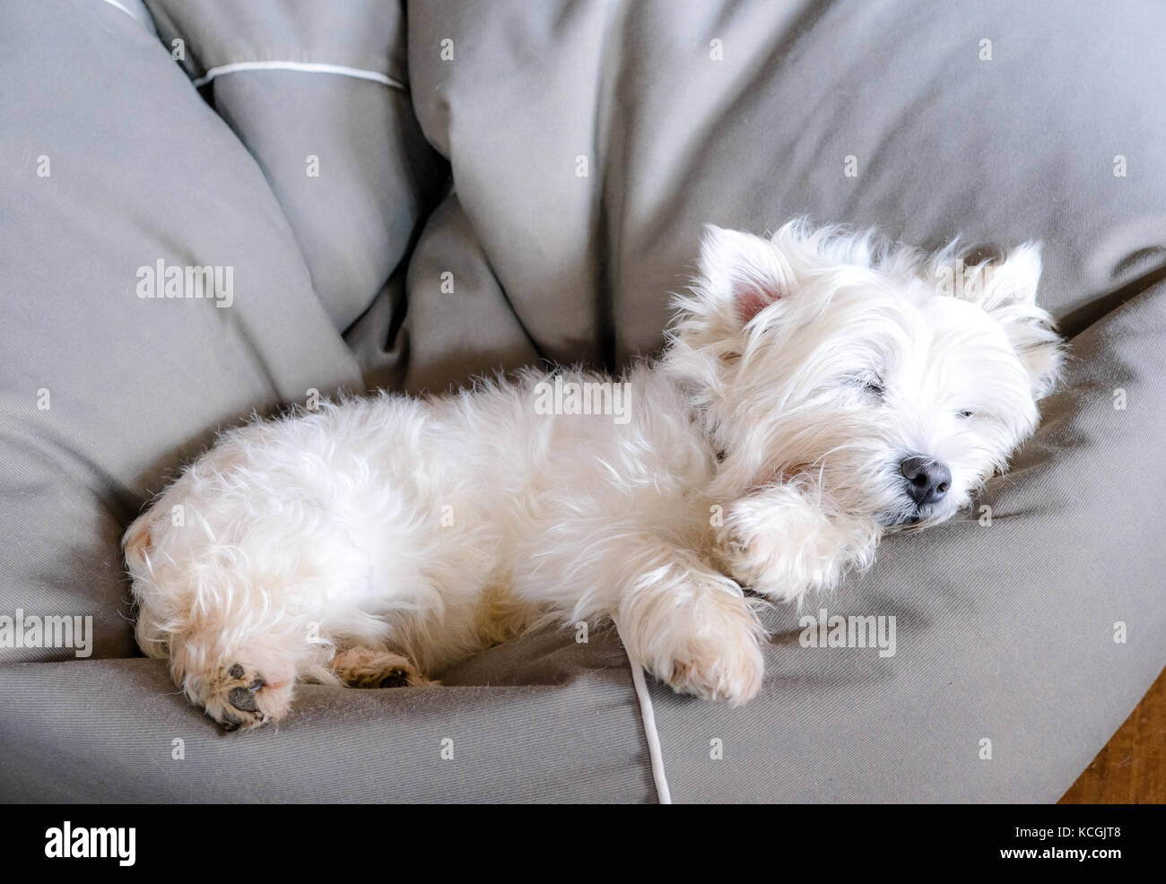Senior west highland white terrier westie dog sleeping in a bean bag looking cute and comfortable - Stock Image