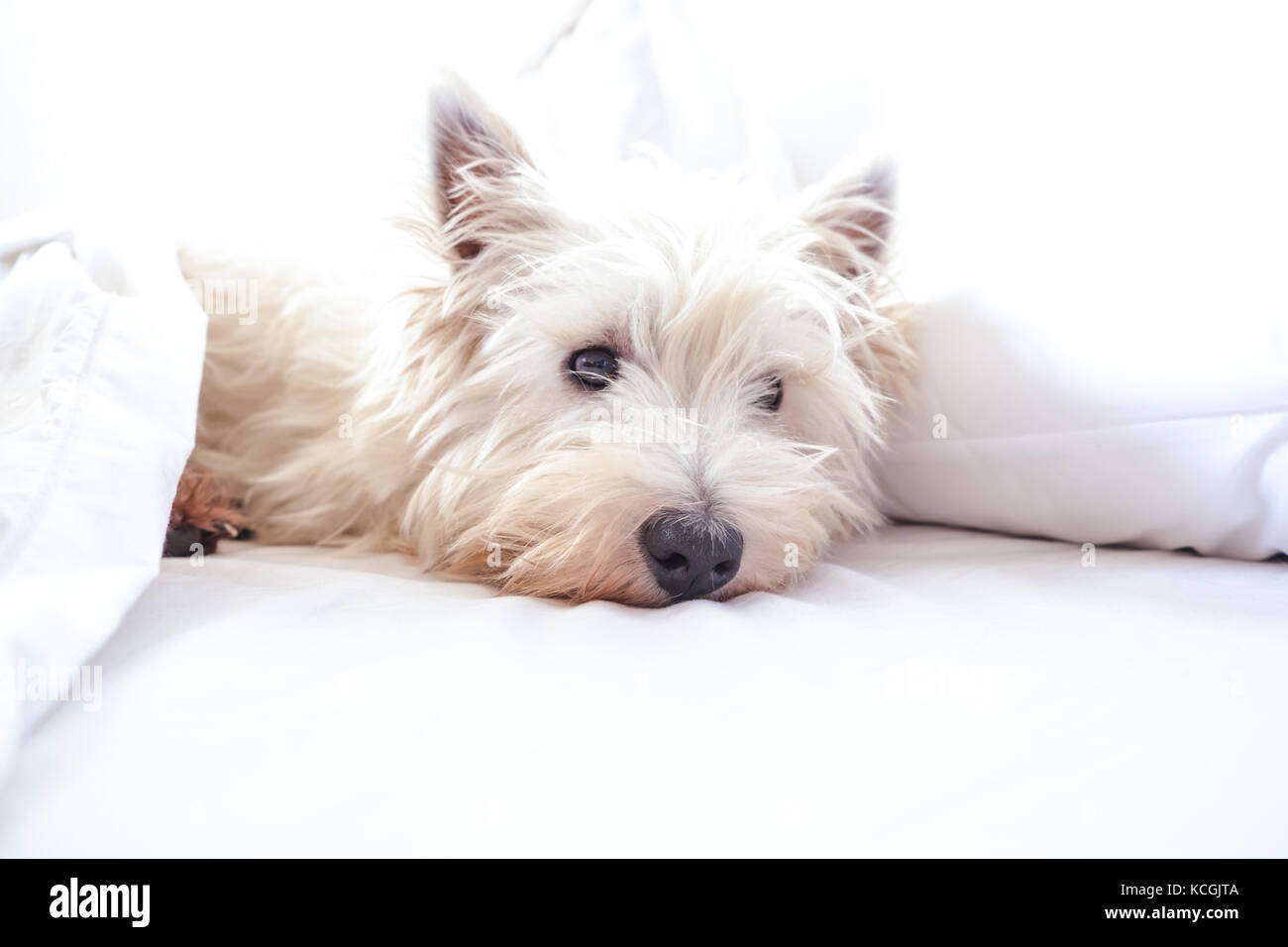 High key image of west highland white terrier westie dog in bed with pillow and sheets with copy space - Stock Image